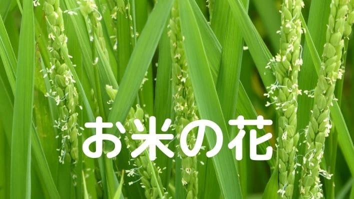 稲の花の時期は?お米の花が咲いた画像を接写【必見】