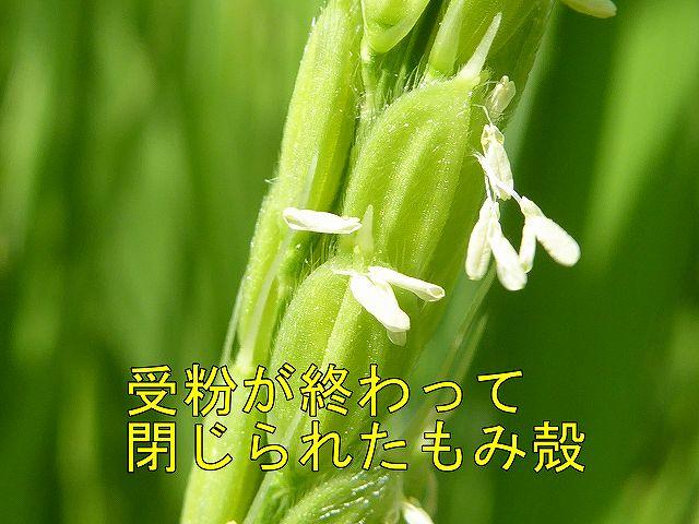 稲の花は受粉が終わって閉じたもみ