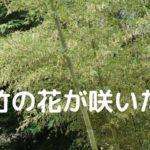 竹の花が開花した画像! 花びらは米の花?【驚愕】